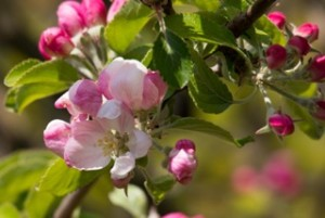 apple-blossom-739217_1920